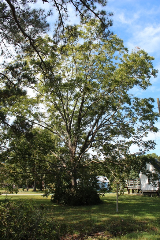 A pecan tree.