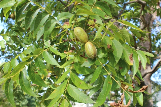 Not quite ripe pecans in their pods.