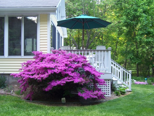 This azalea provides a bright spot of color at the side of our deck.