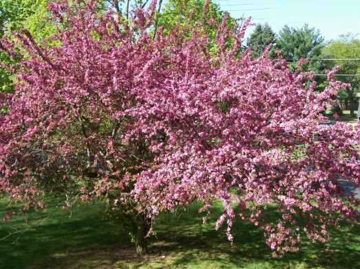 Flowering Crab-apple tree.