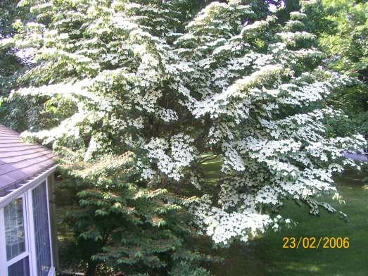 White flowers now, red berries in the fall that the birds love.