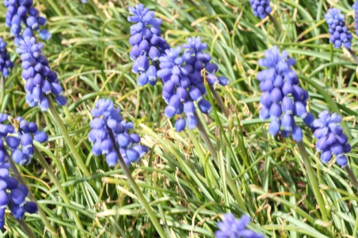 Grape hyacinths, a mass of them planted outside the garage welcomes us home.