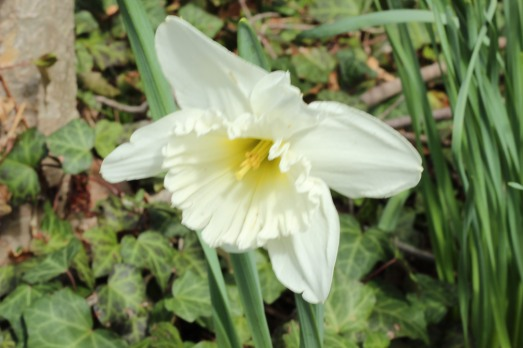 A white daffodil, so lovely!