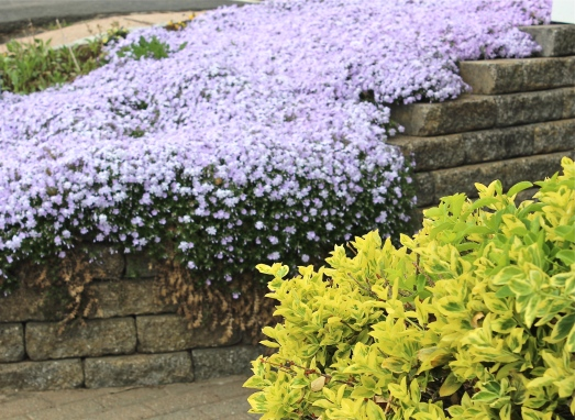 Purple phlox, and chartreuse Euonymus, a striking color combination.