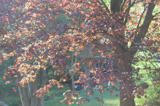 Early morning sun filtering through the young leaves of a red maple tree.