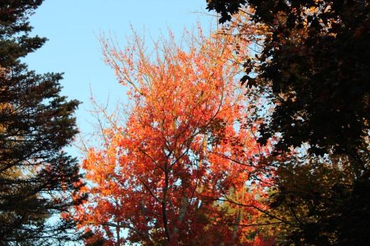 Sugar Maple tree lit by the setting sun!