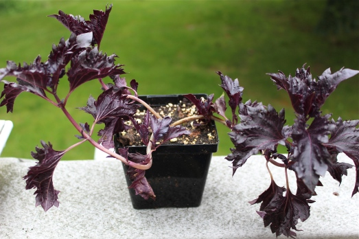 Ruffled Purple Basil